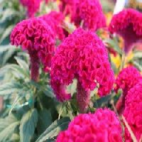 Celosia Cristata Cock Comb Dwarf Flower Seed