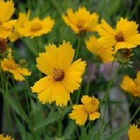 Coreopsis Mayfield Dwarf Seeds
