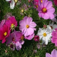 Cosmos Dwarf Sensation Mixed Seeds