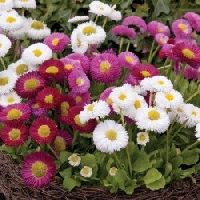 Daisy Double Mix Seeds