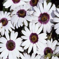 Dimorphotheca Pluvialis Glistening White Seeds