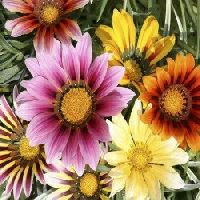 Gazania Sunshine Mix seeds