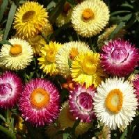 Helichrysum song mix seeds