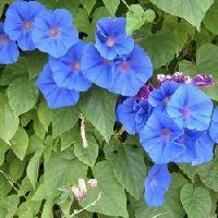 Ipomea Heavenly Blue seeds