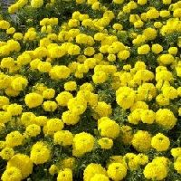 Marigold F2 Dwarf Yellow Seeds