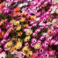 Mesembryanthemum Mix seeds