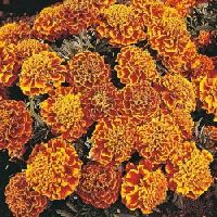 Marigold honeycomb mix seeds