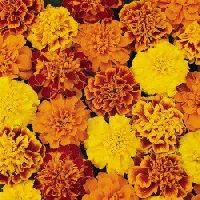Pan American Marigold Bonanza Mix Seeds