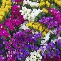 Statice Mix flower