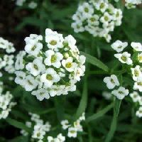 Sweet Alyssum White Seeds
