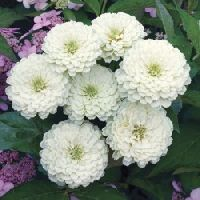 Zinnia Polar Bear White Seeds
