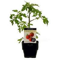 Vegetable Seedling