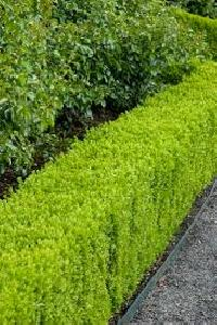 Hedges Seeds