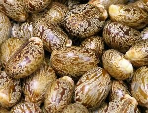 Image result for Castor Seed  .