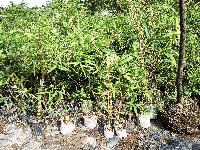 Buddah Bamboo Plants