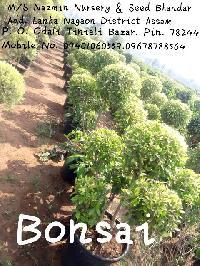 Mini Bonsai Tree