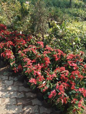 Poinsattia Plant