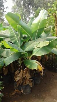 Tissue Culture Banana Big