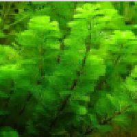 Green Cabomba Aquarium Plant