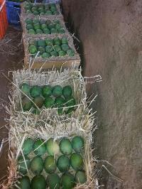 Organic Ratnagiri Alphonso Mango
