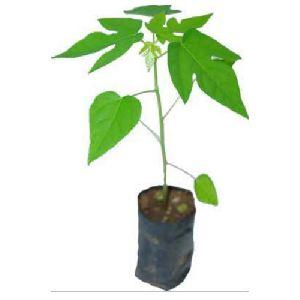 Green Papaya Plant