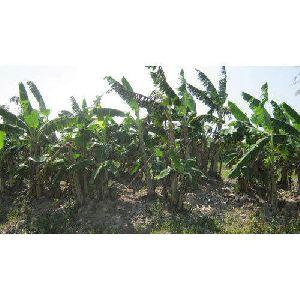 Nain Banana Plant