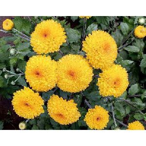 Yellow Marigold Flower Plant