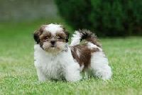 Shihtzu Pet Dogs