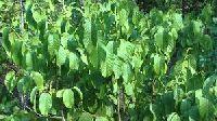 Vanaspati Plant