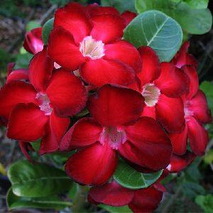 Adenium Red -