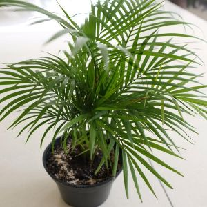 Chamaedorea Seifrizii Or Bamboo Palm