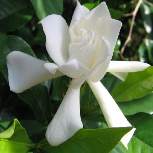 Jasmine Rose Regular