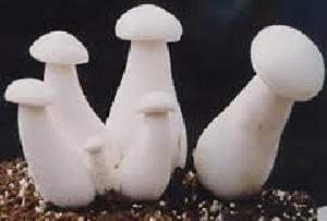organic milky mushroom