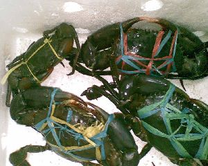 Malaysia Live Crab,Live Crab from Malaysian Manufacturers and Suppliers300 x 240 jpeg 23kB