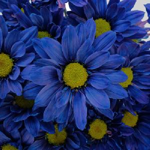 Fresh Blue Daisy Flowers