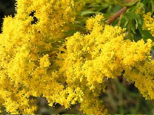 Fresh Goldenrod Flowers