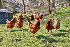 Livestock Hens