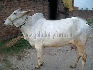 Live Haryana Cow