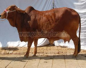 Live Sahiwal Cow