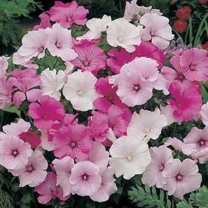 Lavatera Beauty Mix seed pack