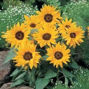 Flower Seed Coreopsis Sunfire