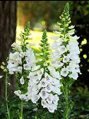 Flower seeds Digitalis purpurea