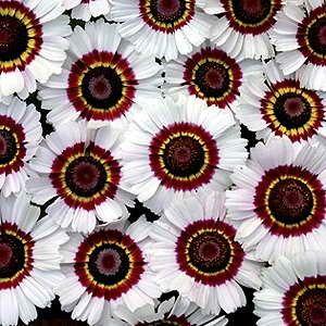 Seeds Chrysanthemums Flower