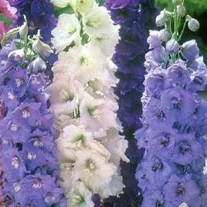 Flowers  Seeds    Delphinium Pacific Giants Mix