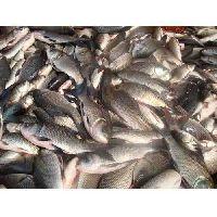 rohu fish seed
