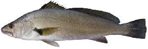 Mulloway (Jewfish)