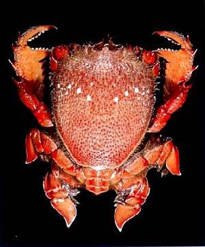 Live Spanner Crabs
