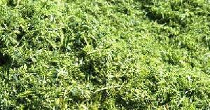 Green Alfalfa