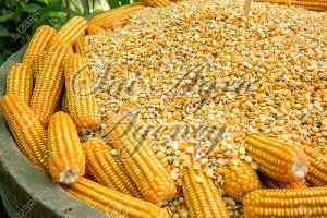 Organic Maize Seeds