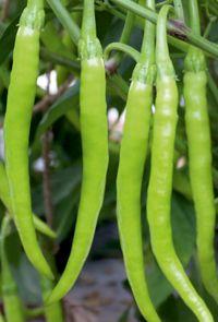 Hybrid Chilli Seeds